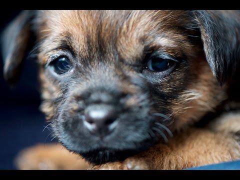 Fünf Wochen alte Border Terrier