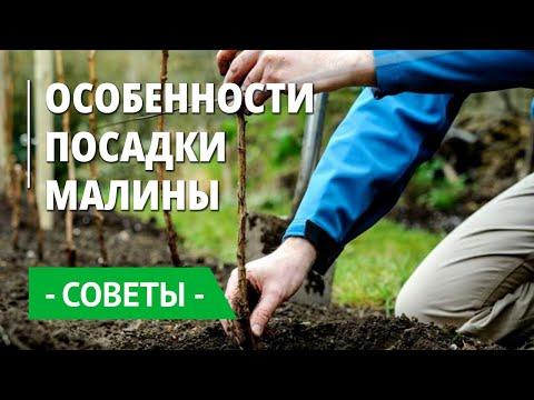 Особенности посадки малины