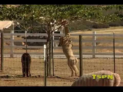 TSPN TV Foothill Critters - Oak Valley Alpaca Farm