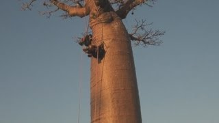 Madagaskar 1: Die Baobab-Allee / The Avenue of the Baobabs