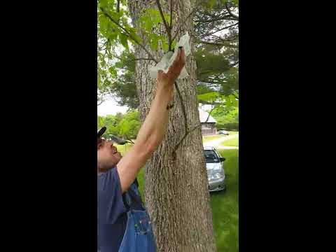 Air Layering Demonstration: Pecan tree