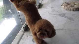 Ginger The Red Toy Poodle and her cute little tricks