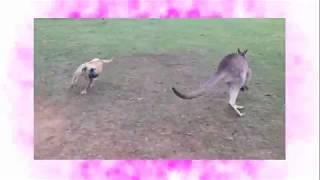 農場の庭で走り回る犬とカンガルー。追いかけっこをしているようです。