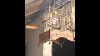 Burung suara burung pleci kacamata