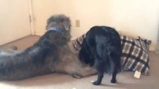 My two yr old hound Brogan playing with our collie mix Fiacha.