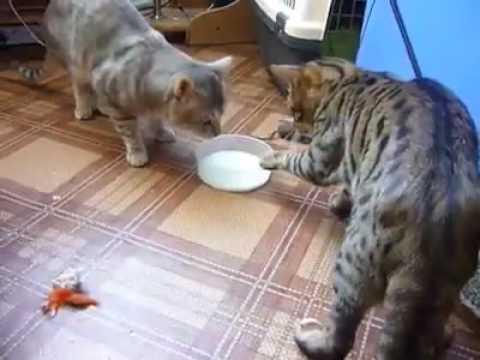 Cats fight for milk / Коты пьют молоко