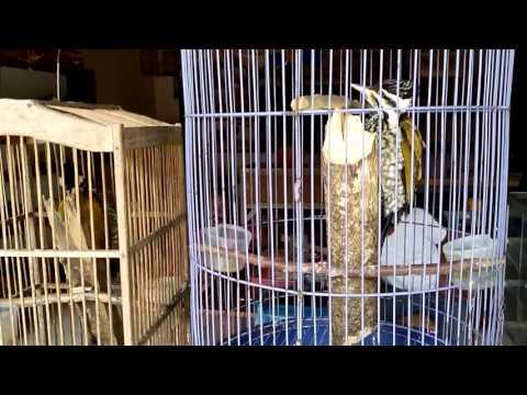pelatuk bawang gacor untuk master burung berkicau