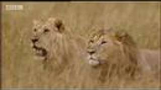 King lion under attack - BBC wildlife Roaring in another lion's territory is the ultimate insult. Will Simba let these two intimidating new arrivals step on his turf? From the BBC.