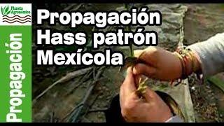 Propagación de Palto Variedad Hass sobre patrón Mexícola