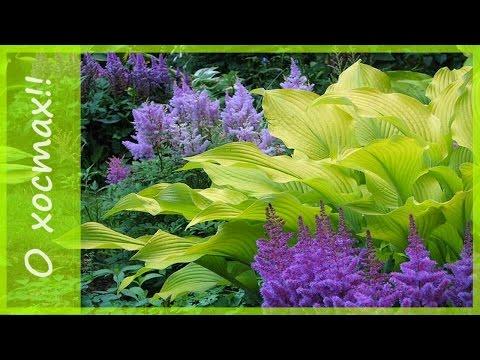 Хоста  - растения для тени. Садовый дизайн с хостами. Садовые композиции с хостами.