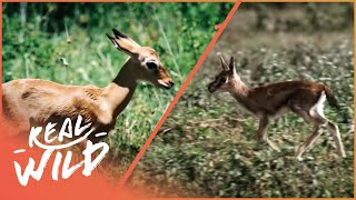 Fawn identity [Impala and Gazelle Documentary] | Wild Things thumbnail