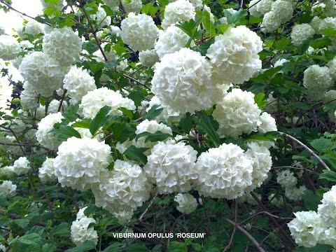 Viburnum Opulus 'Roseum' -  Common Snowball