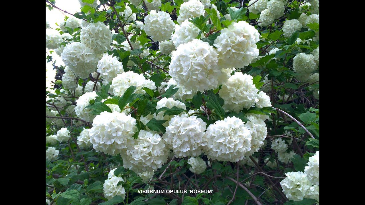 Viburnum opulus roseum common snowball youtube mightylinksfo