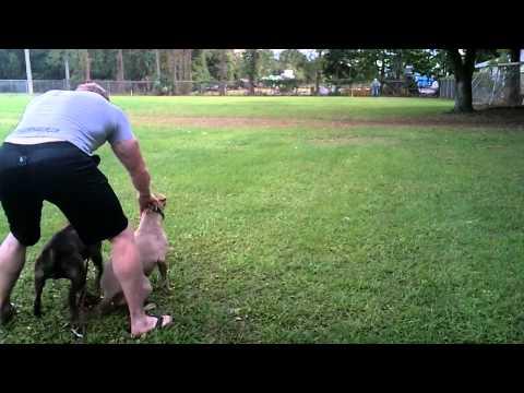 pitbull racing