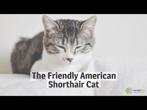 The Friendly American Shorthair Cat