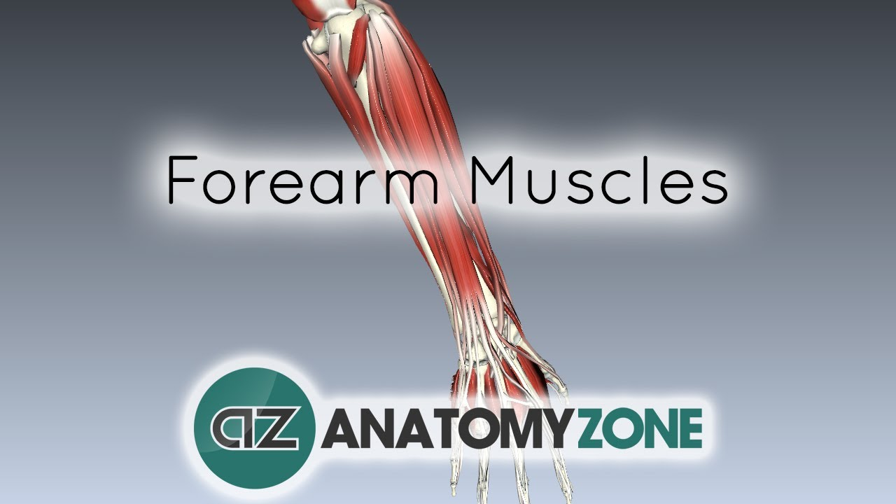 Forearm Muscles Part 1 Anterior Flexor Compartment Anatomy