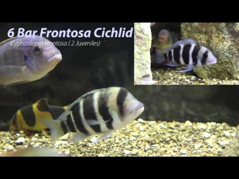 African Cichlids: Names & ID's