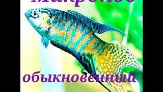 Аквариумные рыбки. Макрапод обыкновенный.
