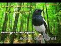 Kacer Gacor Auto Emosi Pancingan Suara Kacer Cara Memikat Burung Kacer Dengan Masteran Kacer  Mp3 - Mp4 Download