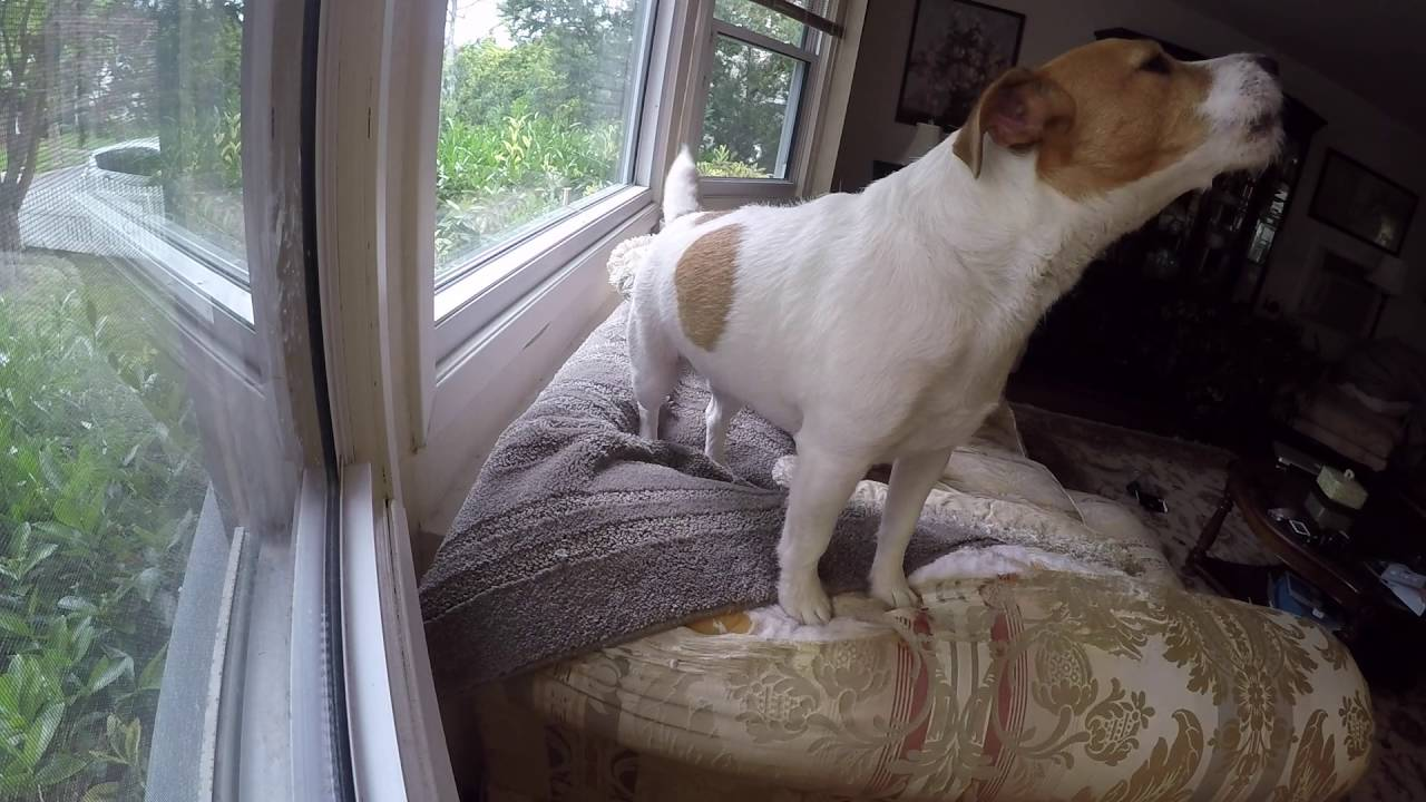 39 Stanley 39 The Jack Russell Terrier Home Alone Funnydog Tv