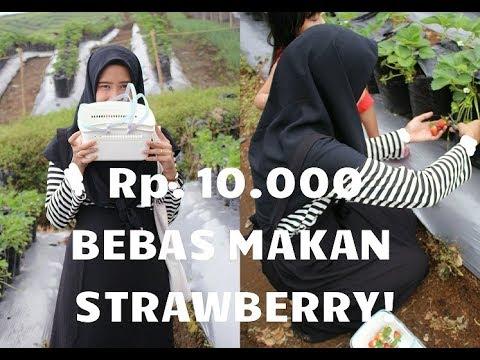 Cuman Rp. 10.000, Bebas Makan Strawberry Di Pagar Alam!