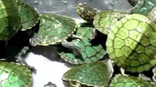 Red-Eared Slider Babies Video 001, David Barkasy, REPTILESTOGO.COM