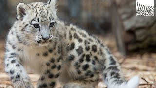 Watch Rare Baby Snow Leopard Sneak and Pounce Around Exhibit for First Time