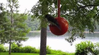 Three Eastern Bluebirds Feeding The Same Nest In Birdpods Birdhouse