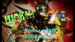 Наши итальянские коты едят конфеты!!! ШОК! Такого вы ещё не видели!!!