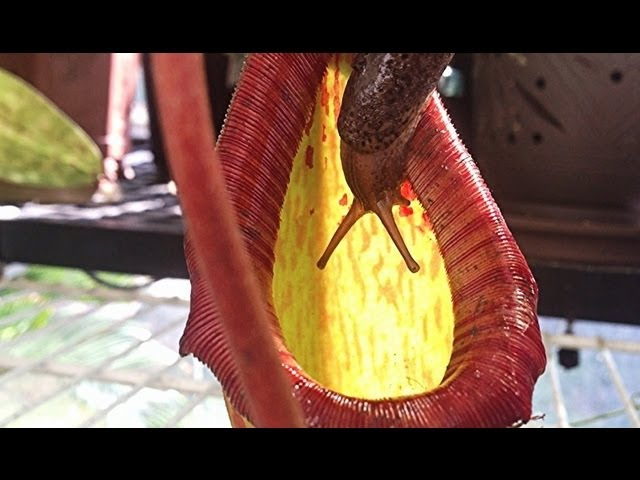 Eaten alive:  Carnivorous Pitcher Plant Eats Giant Slug / Not for the squeamish Yuck!