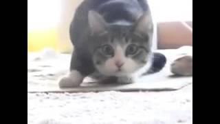 vigo vigo cat