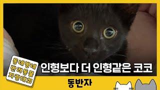 [동반자] 인형보다 더 인형같은 고양이가 있다? / Y…