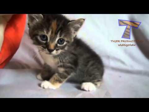 små kattungar jamar och prata  söt katt sammanställning