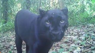 เป็นเรื่อง ทุบหัวใจนักอนุรักษ์!! เผย ฆ่าเสือดำ ใช้อะไรคิด ช่วงที่3 06/02/2018