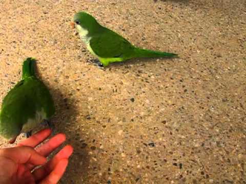 Quaker Parrots 3-Feb-2012