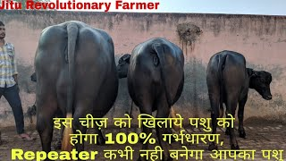 Gambar cover BUFFALOES / COWS get 100% Pregnant. PROBLEM of being REPEATER  will get solved