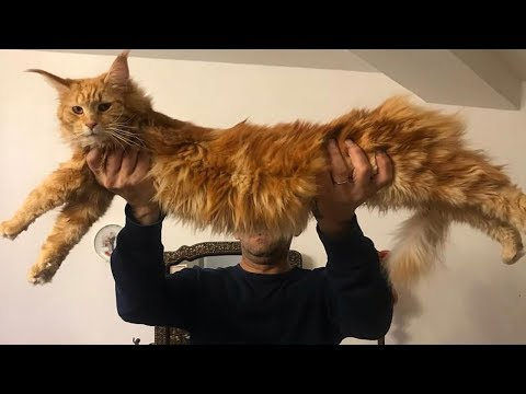 The 10 Gentle & Domesticated Cat Breeds - Animal Beast