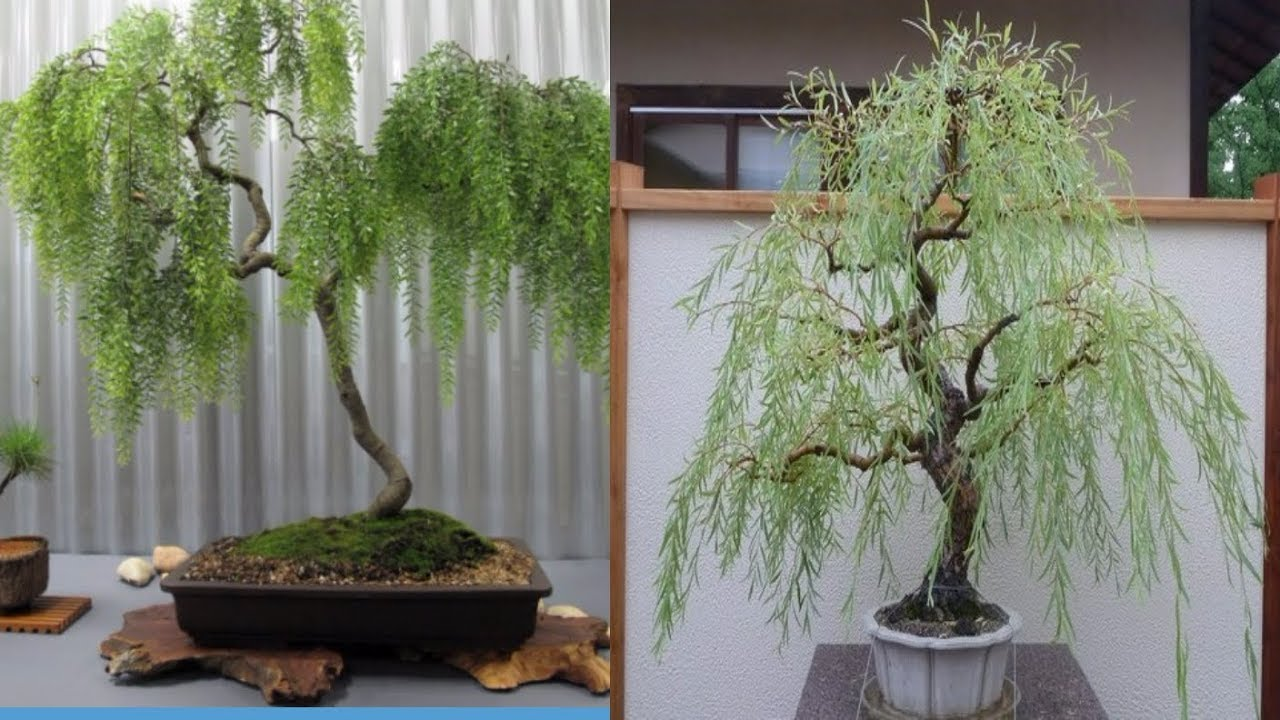 How To Grow Weeping Willow Bonsai Tree Youtube