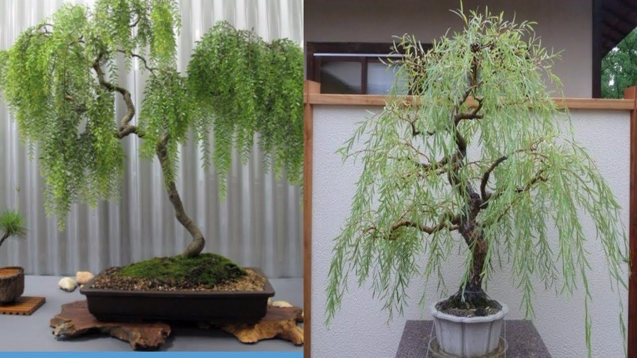 Weeping Willow Bonsai Tree Bonsai Tree