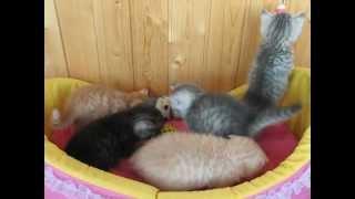 Шотландские котята в возрасте 1 месяц