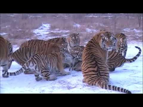 Siberian Tigers vs Goat - Harbin, China Siberian Tiger Preserve