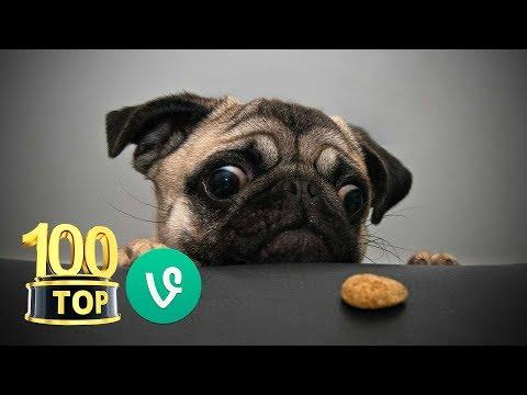 😂 Top 100 Grappige Honden Vines - Compilatie - Grappige Honden Filmpjes