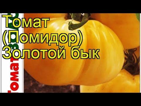 Томат Золотой бык. Краткий обзор, описание характеристик solanum lycopersicum Zolotoj byk