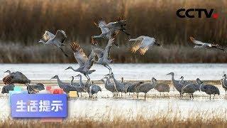 《生活提示》候鸟迁徙 观鸟也要护鸟 20200411   CCTV