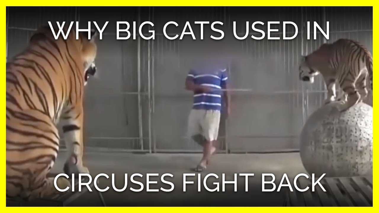 why-tigers-lions-used-in-circuses-fight-back