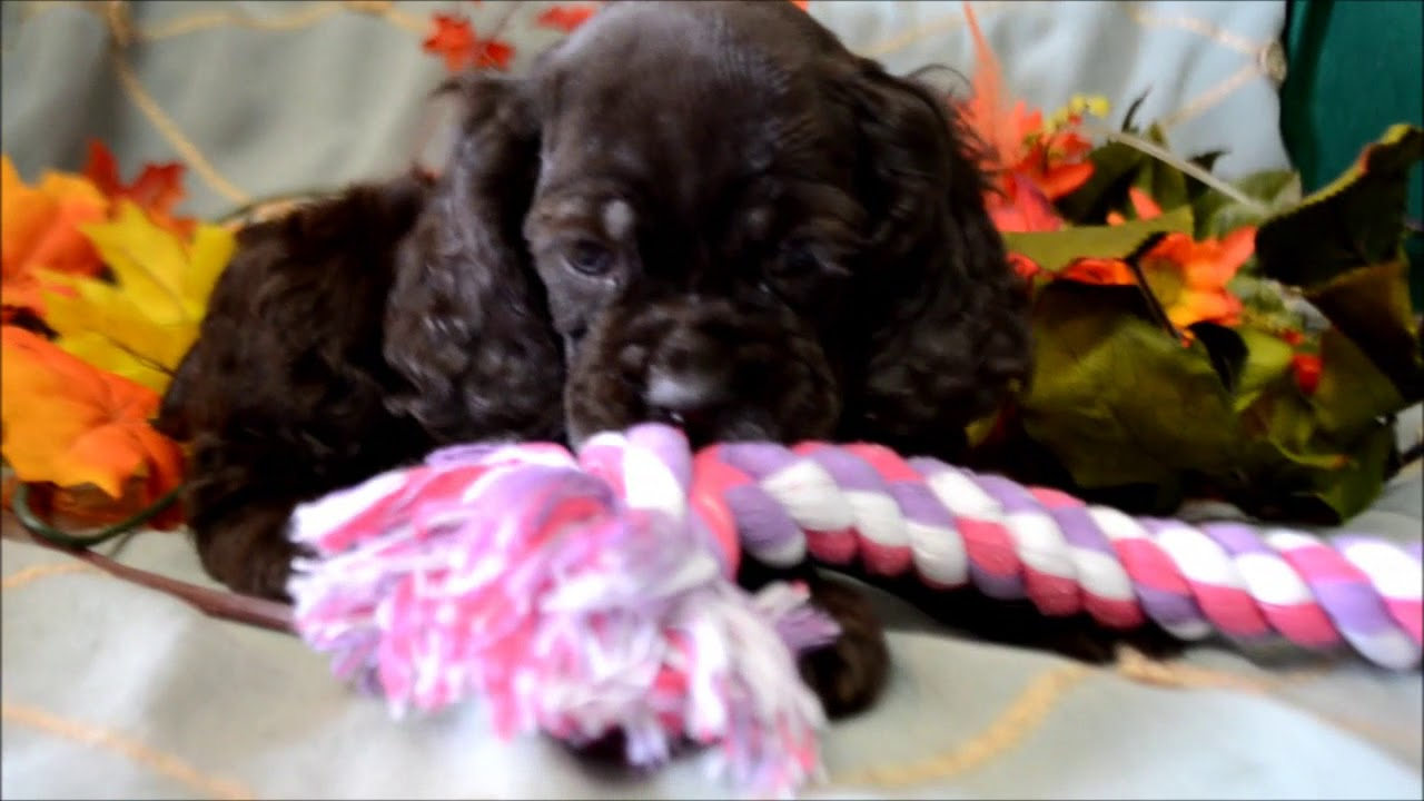 dugan cocker spaniel puppy for cocker spaniel puppies for sale www maryscockerhaven com 456