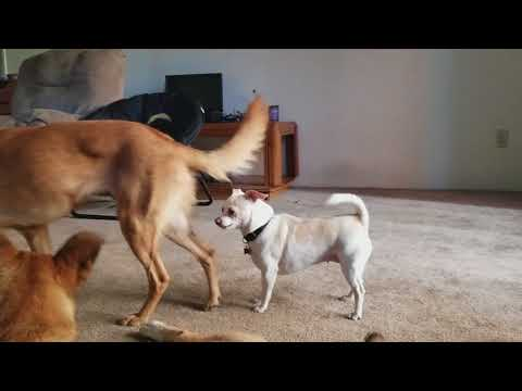 Ghost (shepherd mix) and Mena (Husky mix)  ganging up on Marty (Chihuahua mix).