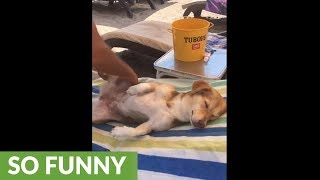 Super chill dog gets relaxing massage at the beach