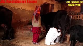 👍FULL Milking of Gheeline Buffalo@ Village #Munimpur, District Jhajjhar, Haryana👍.
