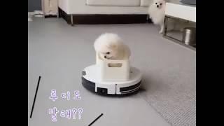 포메라니안 퐁키의 로봇 청소기 타기!!